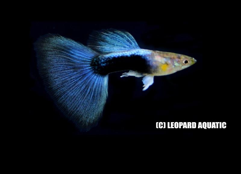 Livebearer Amp Killfish Leopard Aquatic